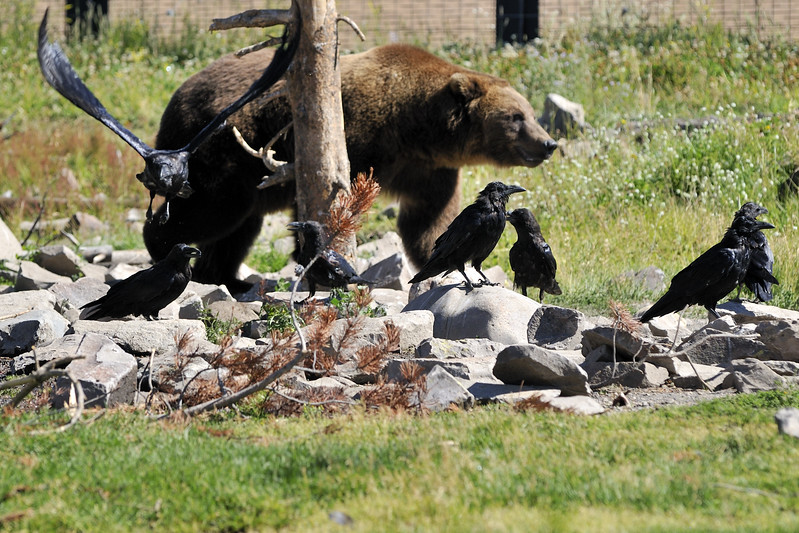 Competing with the ravens  Grizzly and Wolf Discovery Center  West Yellowstone, Montana