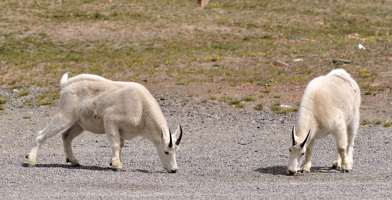 White Mountain Goats  Wyoming