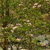 Wild mountain laurel - Scott's Run - McLean, Virginia