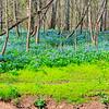 Blue Bells - Bull Run Regional Park