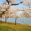 National Cherry Blossom Festival  Washington, D.C.