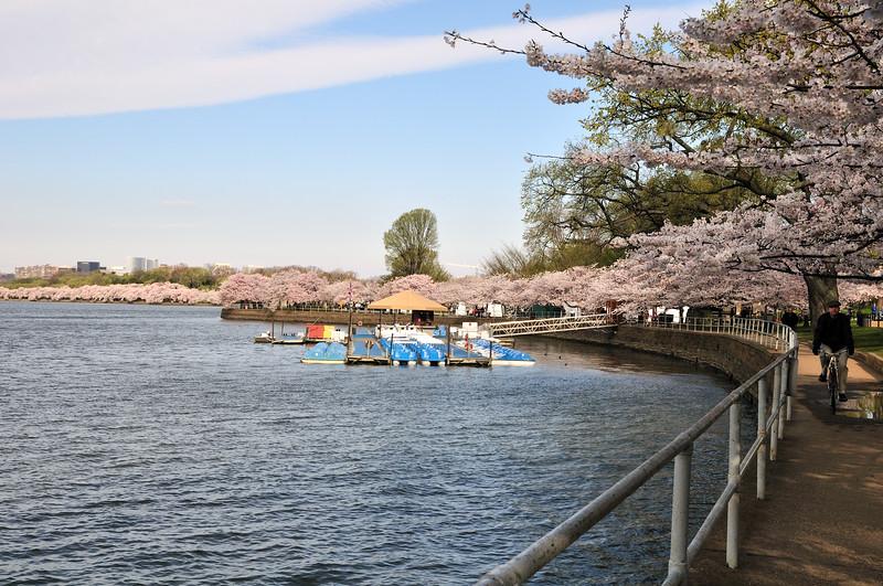 Biking round the blossoms - Washington, DC