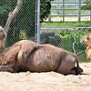 Camels moulting