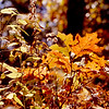 2000 - Fall foliage - Wintergreen, Virginia