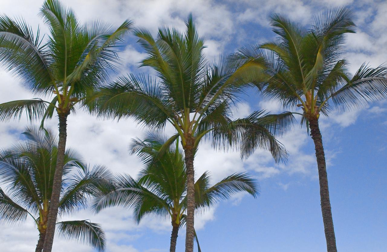MauiiPalmTrees_1583 - 2002-08-23 03 36 20 PM