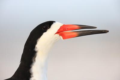 Black Skimmer (Rynchops niger) adult portrait