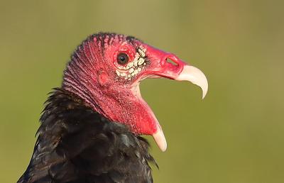 Turkey Vulture (Cathartes aura) adult