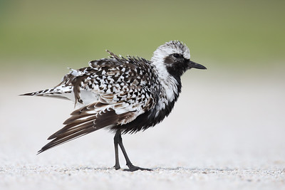 Black-bellied Plover (Pluvialis squatarola) adult in breeding plumage