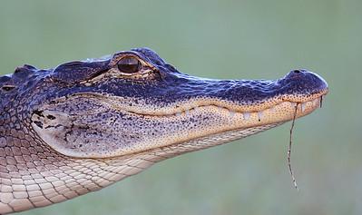 American Alligator (Alligator mississippiensis) portrait