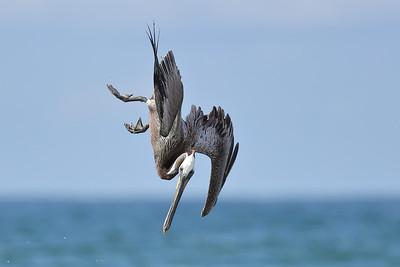 Brown Pelican (Pelecanus occidentalis) adult diving