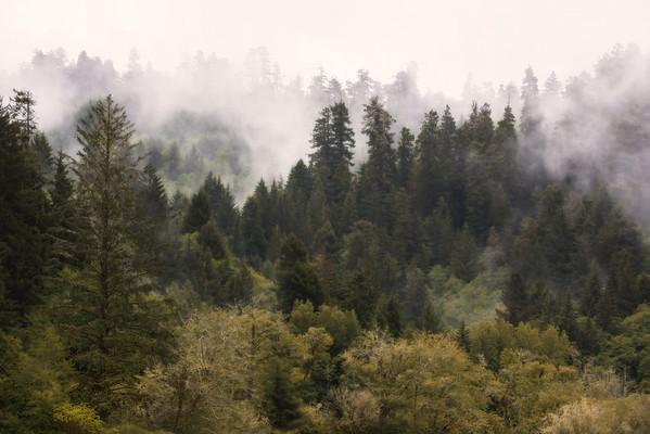 Redwood Mist