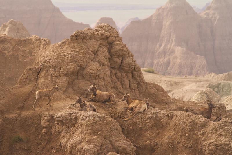 Bighorn Sheep- Ewes and Lambs