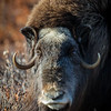 Musk Ox Portrait