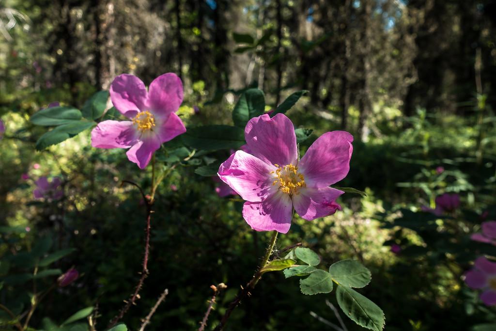 Sitka Wild Rose Flower