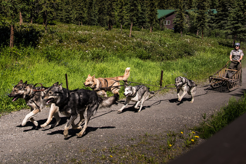 Ranger Led Sled Dogs