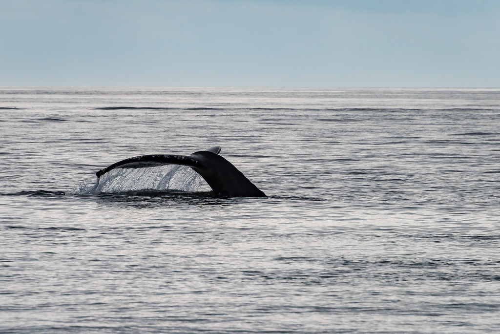Humpback Whales in Glacier Bay