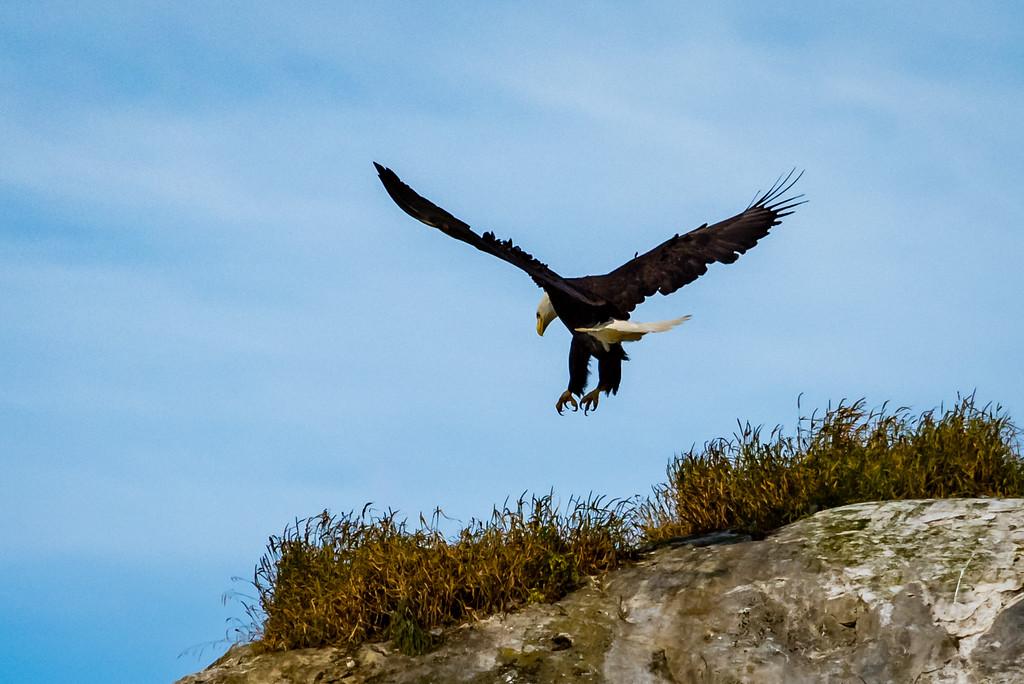 Bald Eagle Seeking Food