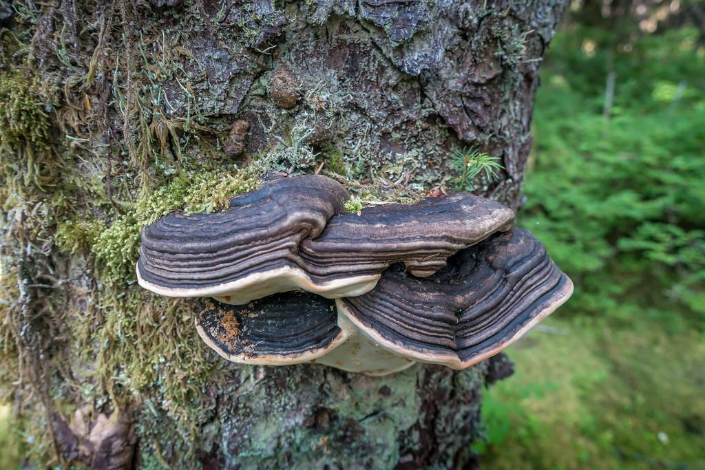 Shelf Fungus on Spruce Tree