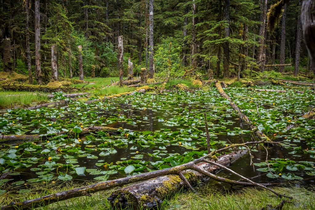 Forest Trail at Glacier Bay Park, Barlett Cove