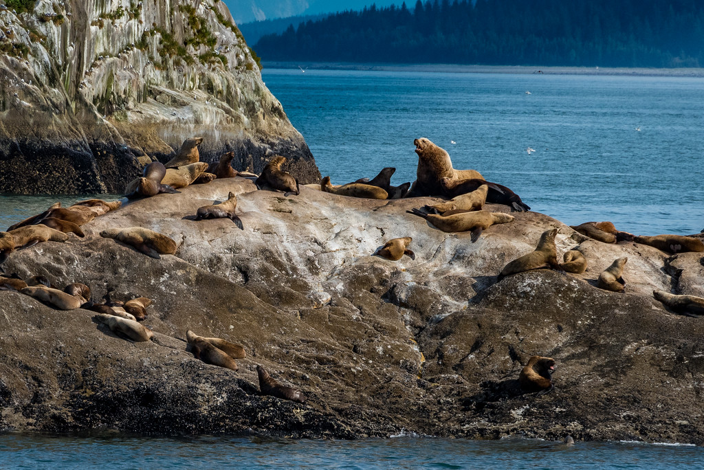 Harbor and Steller  sea lions