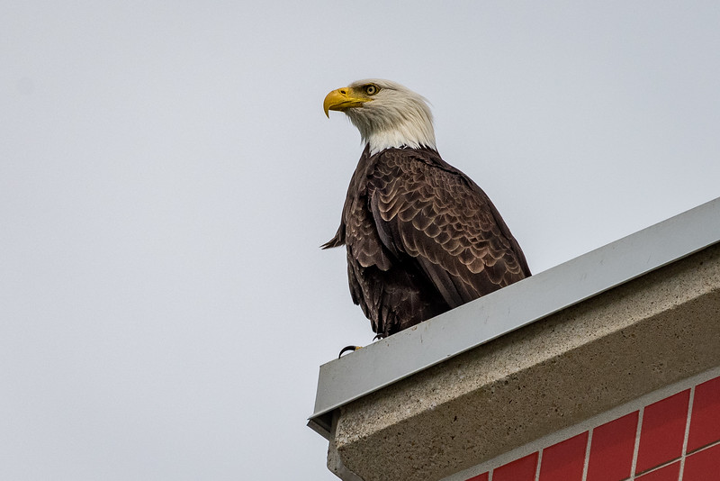 Eagle Waiting for Salmon to Return