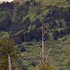 Bald Eagle - Anchorage to Seward