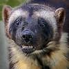 Wolverine (Banff) - Kroschel Center for Orphaned Animals