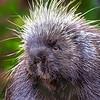 Porcupine - Kroschel Center for Orphaned Animals