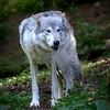 Alaska Wolf (Isis) - Kroschel Center for Orphaned Animals