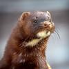 American Mink - Kroschel Center for Orphaned Animals