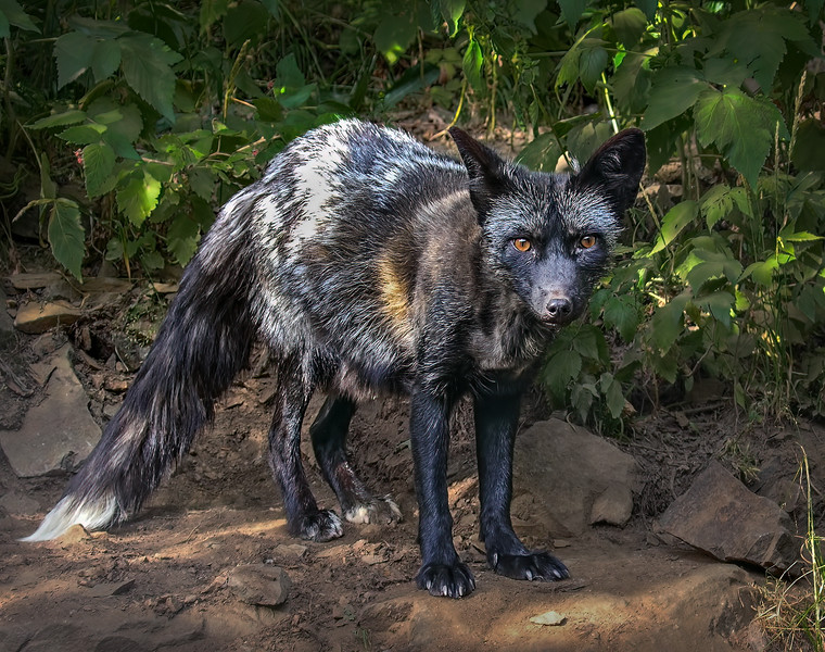 Silver Fox - Kroschel Center for Orphaned Animals