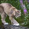 Lynx (Lennox) - Kroschel Center for Orphaned Animals