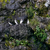 Horned Puffins - Common Murre