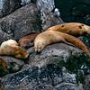Stellar Sea Lions