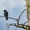 Raven - Alaska Wildlife Conservation Center