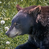 Black Bear - Alaska Wildlife Conservation Center