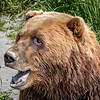 Brown Bear - Alaska Wildlife Conservation Center