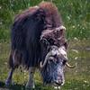 Muskox - Alaska Wildlife Conservation Center