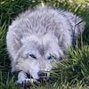 Gray Wolf - Alaska Wildlife Conservation Center