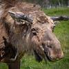 Moose - Alaska Wildlife Conservation Center
