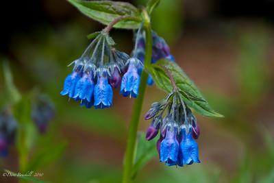 Blue Bells of Alaska