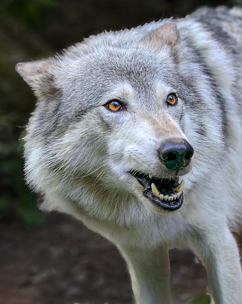 Alaska Wolf - Kroschel Center for Orphaned Animals