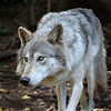 Alaska Wolf - Kroschel Center for Orphaned Animals