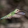 Broad-billed Hummingbird - Female