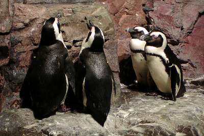 Penguins - Boston, MA ... September 3, 2007 ... Photo by Rob Page III