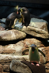 The penguins at the Boston Aquarium - Boston, MA ... September 3, 2007 ... Photo by Rob Page III