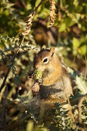 Golden Mantled Squirrel, Bryce Canyon, Utah