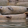 Harbor seals at Elkhor Slough