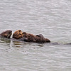 Sea otter with young