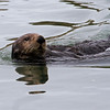 Sea Otters at Elkhorn Slough